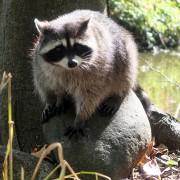 Raccoon in Vancouver